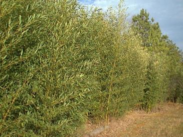 Phyllostachys Aurea En Pot Of Bambu