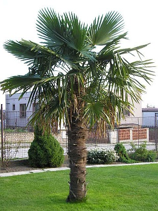 chusan palm trachycarpus fortunei 6 seeds tropicals ebay. Black Bedroom Furniture Sets. Home Design Ideas