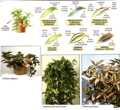 Plantas colgantes de exterior good plantas para macetas for Plantas colgantes exterior