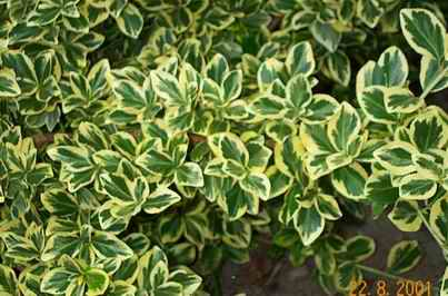 Euonymus for Arbustos ornamentales de exterior