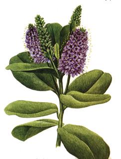 Pawlonia hebe for Arbustos ornamentales