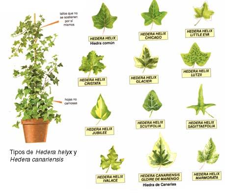Proyecto Planta En Ecosistemas Tipos De Hiedra Según Tamaño O Tipo De Hoja