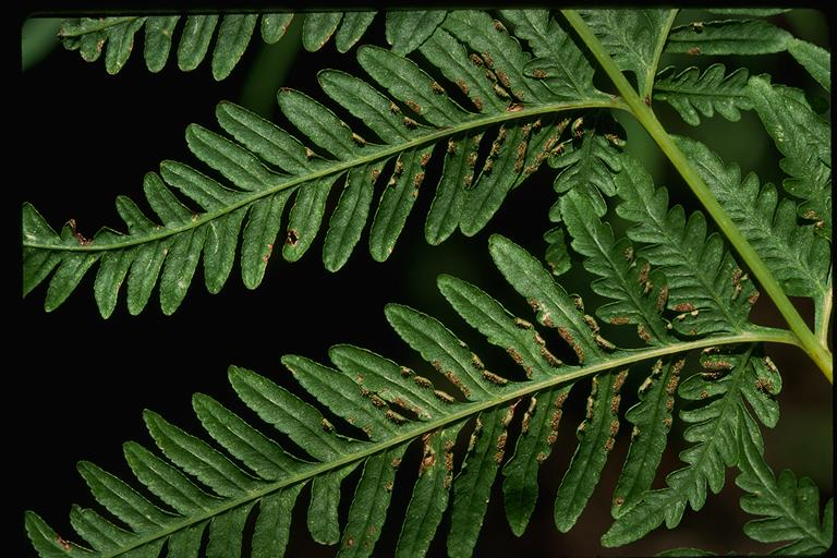 Helechos ornamentales chile pteris tremula for Plantas ornamentales helechos