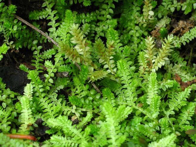 Helechos ornamentales chile selaginella spp for Plantas ornamentales helechos