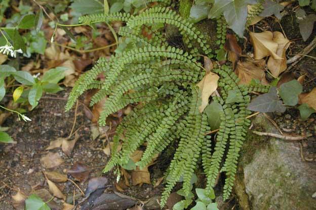 Plantilla 11 2 for Plantas ornamentales helechos